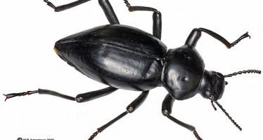 OLDER MEN MAKE BETTER FATHERS AND EVEN TOLERATE INFIDELITY (AT LEAST IN THE BEETLE WORLD)-STUDY