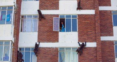 HOW GANG OF KLEPTOMANIAC MONKEYS TERRORISE AN ESTATE IN SOUTH AFRICA