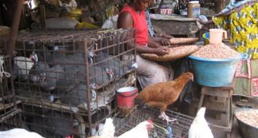 Bird flu in Lagos, Kano- FG