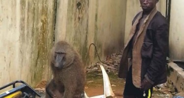 MONKEY ARRESTED FOR ROBBING BANK CUSTOMER OF N230,000 IN LAGOS