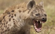 PANIC IN BENUE UNIVERSITY AFTER HYENA ESCAPES FROM ZOO