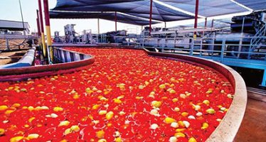 Dangote suspends tomato paste production over raw material