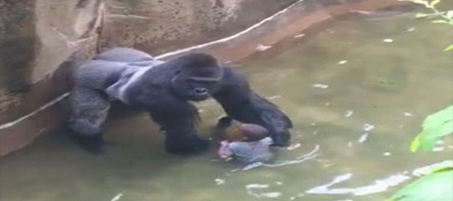 video: Gorilla shot dead after boy gets inside its cage