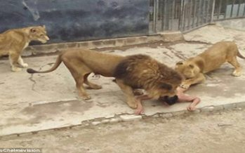 Man tries to feed himself to lions in zoo