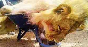 Lion named after governor