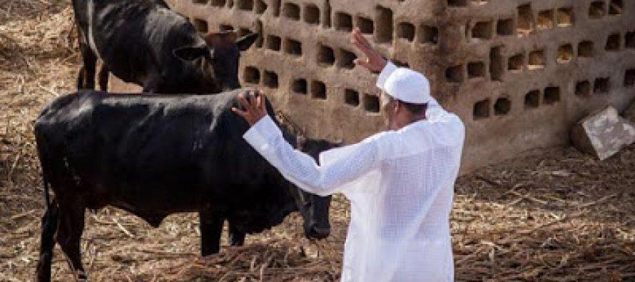 Buhari is worshipping cows – Abubakar Shekau