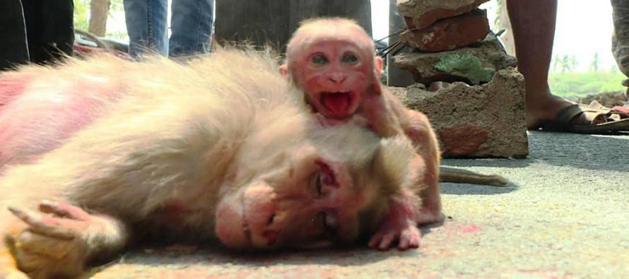 (Video) Baby monkey breaks down in tears after car crushed mother to death