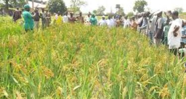 88,000 people have become millionaires from rice farming business- CBN