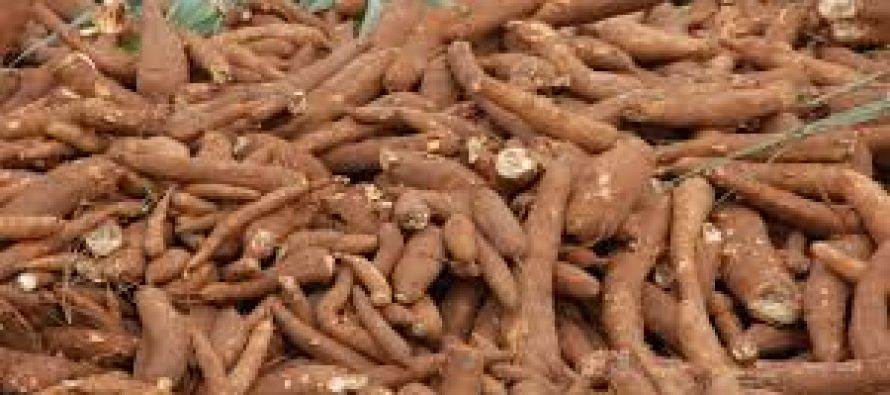 Govt. bans sale of killer cassava