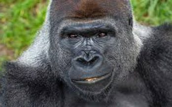 Gorilla escapes Jos wildlife park, attacks soldier