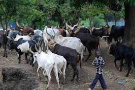 OrijoReporter.com, cattle colonies