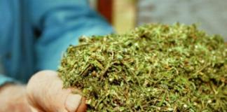 OrijoReporter.com, Ondo Cannabis Cultivation