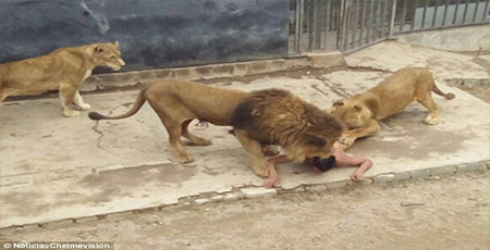 OrijoReporter.com, man feeds himself to lions